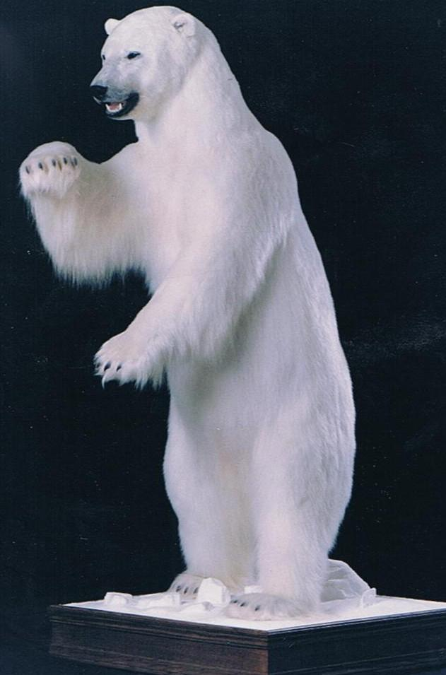 Mounted Polar Bear