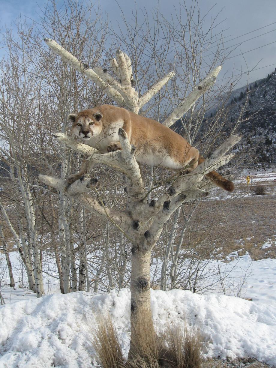 Mountain Lion in a Tree