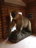Bear in Cabin
