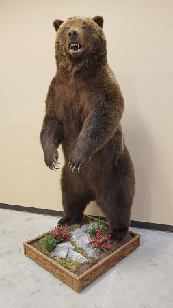 Grizzly bear mounted by D&C Expediters